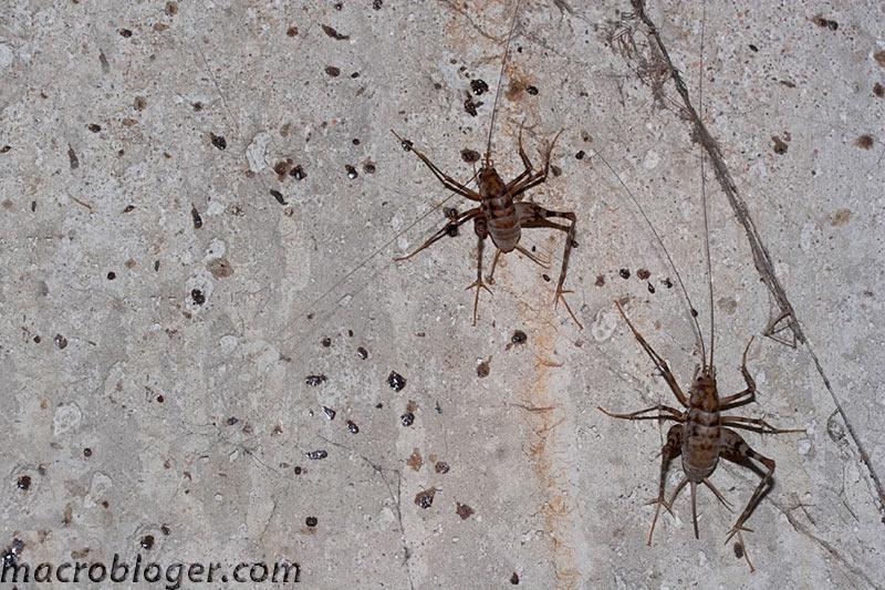 Rhaphidophoridae кузнечик пещерный