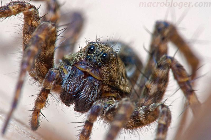 Lycosidae пауки-волки