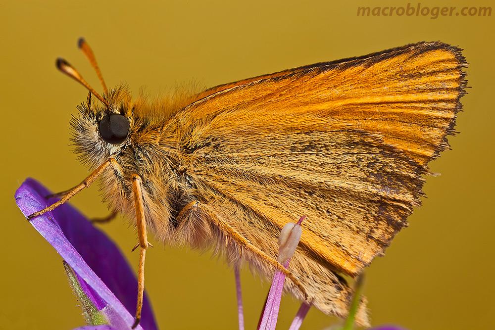 Макросъемка насекомых бабочка