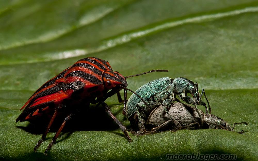 Долгоносик крапивный (Phyllobius pomaceus)