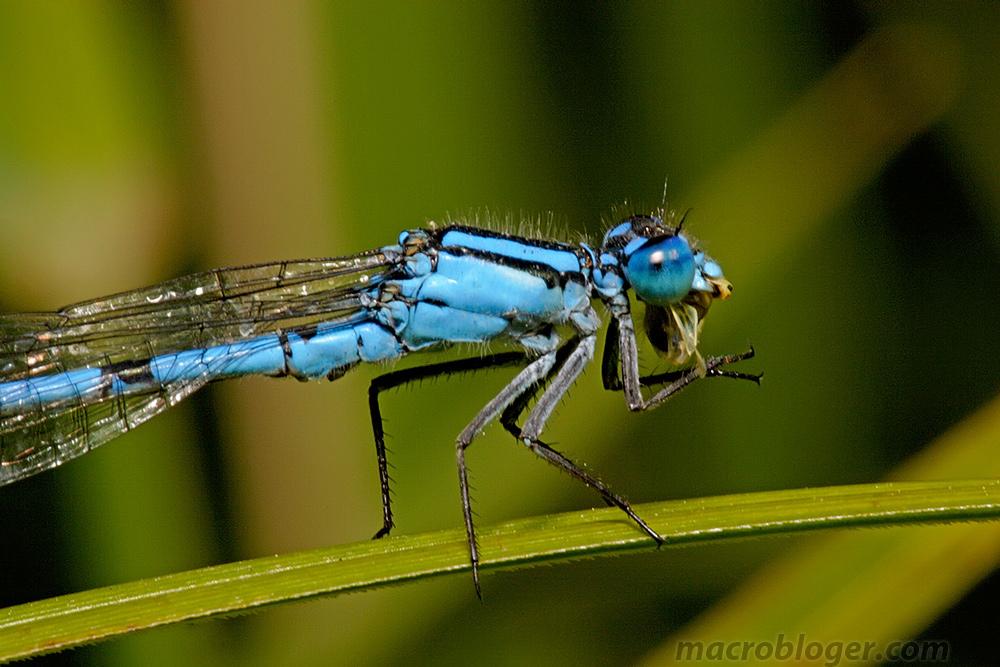 Стрекоза стрелка ( Coenagrionidae)
