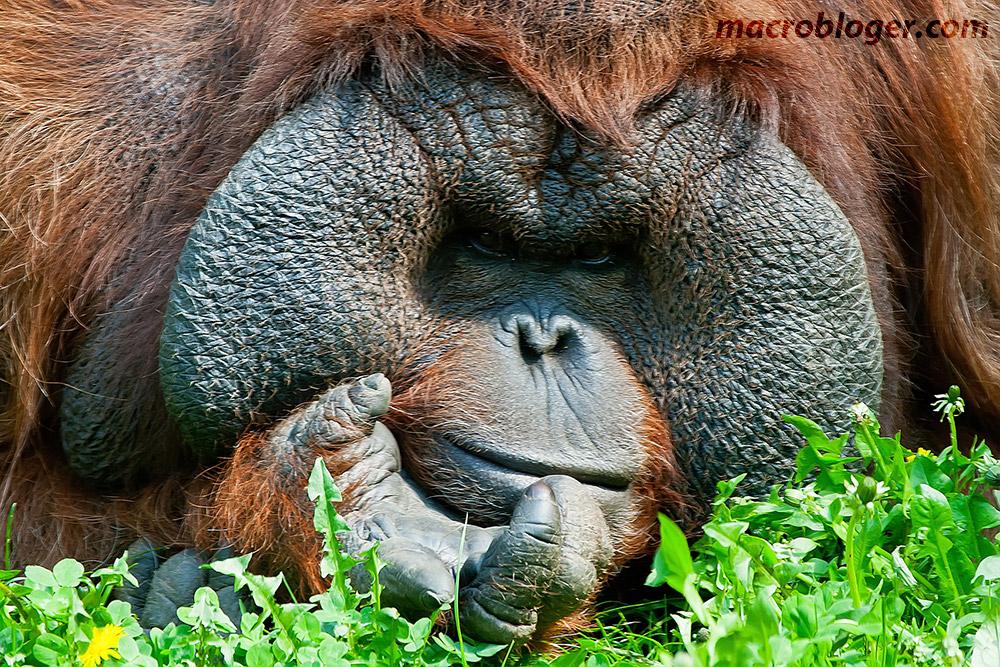 Орангутан (Orang Hutan)