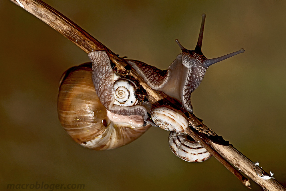Улитка каннибал (Helix pomatia)
