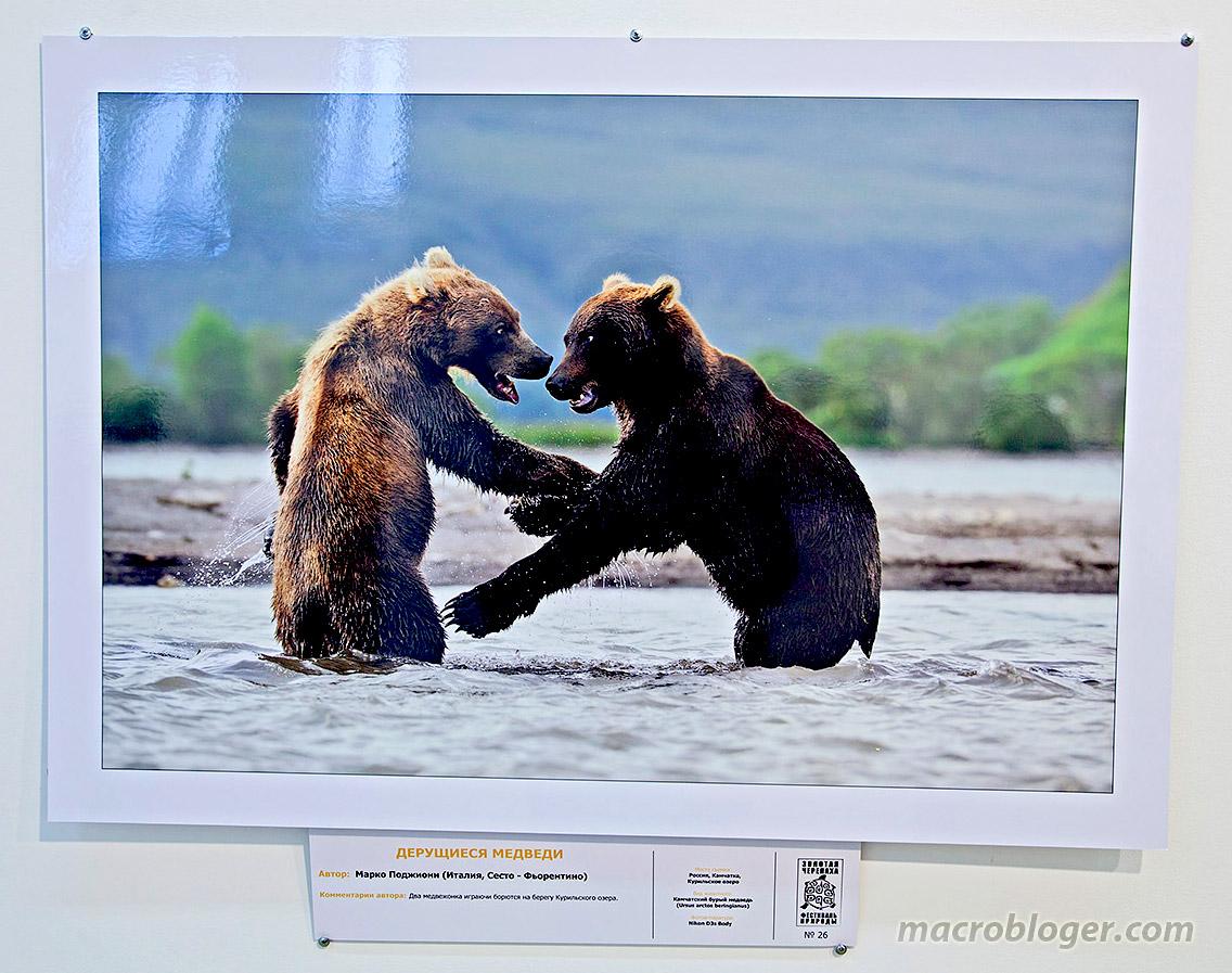 Дерущиеся медведи (Марко Поджиони)
