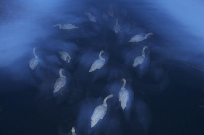 Лебеди (Дарошчи Цаба)