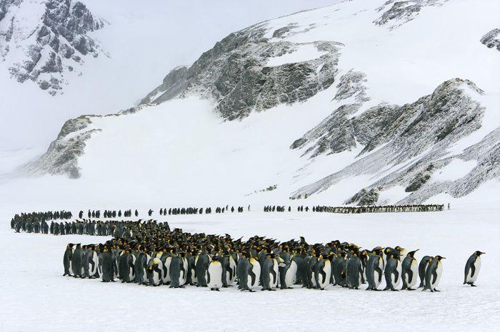 Королевские пингвины (Марсело Либра)
