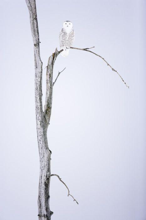 Полярная сова (Давид Аллеманд)